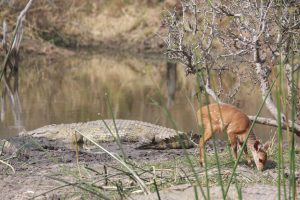 Bushbuck and Crocodile – South Africa