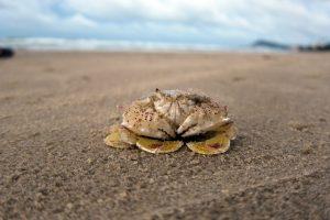 Crab – Washington Beach