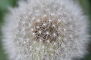 Dandelion Seeds – Close-up
