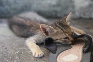 Kitten – Vietnam