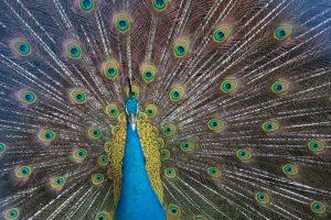 Peacock – Vietnam