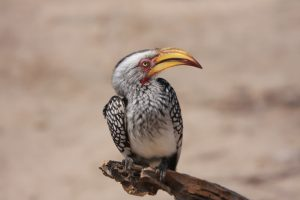 Southern Yellow Billed Hornbill – South Africa