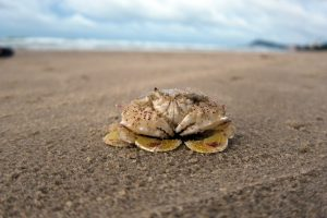 Crab – Washington Beach