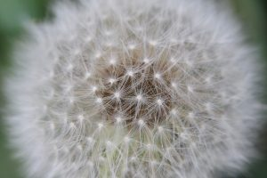 Dandelion Seeds – Close-up