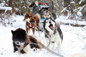 Dogsledding – Minnesota
