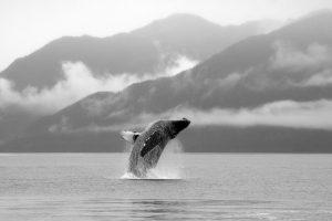Humpback Whale – Juneau, Alaska