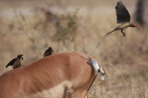Impala and Red-Billed Oxpecker – South Africa