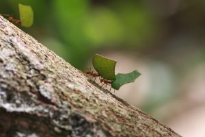 Leaf Cutter Ants – Costa Rica