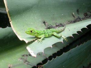Lizard – Costa Rica