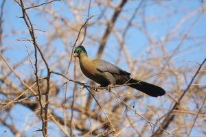 Purple Crested Lourie – South Africa