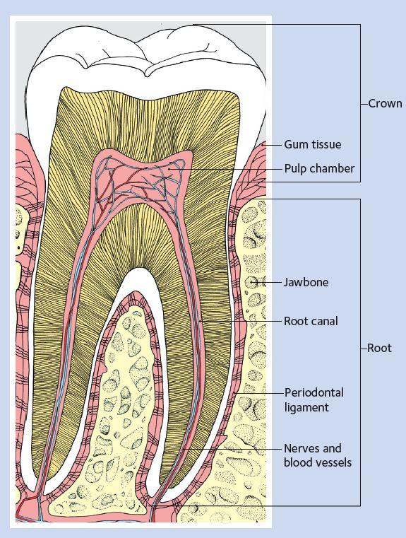 services-endodontics-tooth-diagram